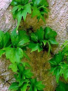 Vigne vierge - Parthenocissus tricuspidata Lowii