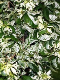 Parthenocissus quinquefolia Star Shower - Vigne vierge panachée