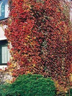 Vigne vierge - Parthenocissus triscupidata Veichtii