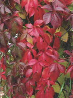 Vigne vierge - Parthenocissus quinquefolia Engelmannii