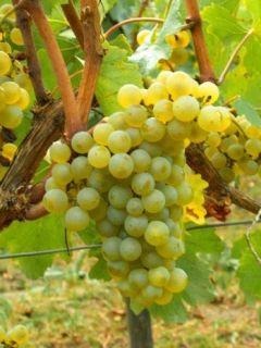 Vigne Chardonnay