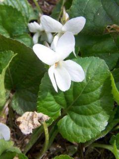 Violette odorante, Viola odorata Alba, pensée