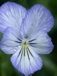 Viola Cornuta Icy but spicy