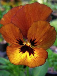 Viola cornuta Irish Molly - Pensée à Cornes