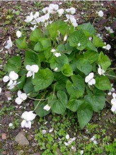 Violette vivace - Viola sororia Albiflora
