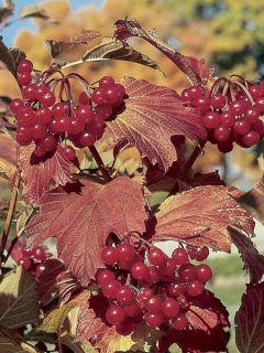Viorne trilobée - Viburnum trilobum Wentworth ®
