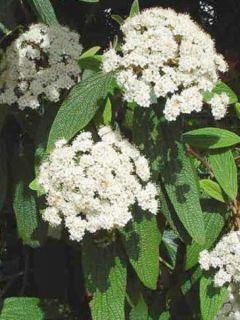 Viburnum rhytidophyllum - Viorne à feuilles ridées.