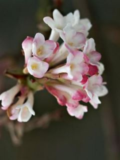 Viorne d'hiver - Viburnum bodnantense Charles Lamont.