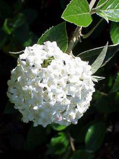 Viburnum burkwoodii - Viorne de burkwood