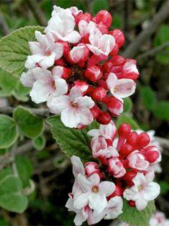 Viorne, Viburnum carlesii Aurora