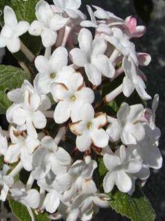 Viburnum carlesii Juddii - Viorne Juddii
