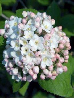 Viburnum carlesii - Viorne de Carle