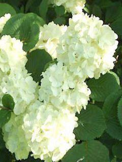 Viorne - Viburnum plic. Grandiflorum Noble ®