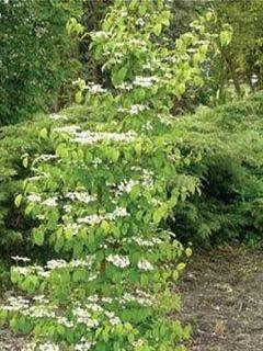 Viorne - Viburnum plicatum Kilimandjaro ®