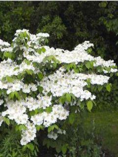 Viorne de Chine - Viburnum plicatum Tomentosum