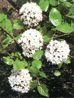 Viorne de Burkwood - Viburnum burkwoodii Ann Russell