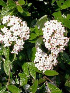Viorne de Burkwood Conoy - Viburnum burkwoodii Conoy