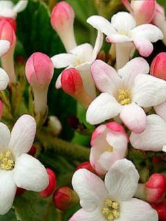 Viorne du Burkwood - Viburnum x burkwoodii Mohawk