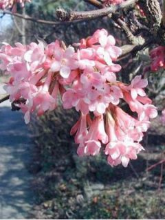 Viorne d'hiver - Viburnum farreri (fragrans)