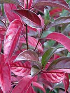 Viorne ou Viburnum Le Bois Marquis cov Pot de 7.5L.