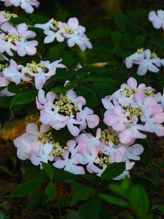 Viburnum plicatum Molly Schroeder - Viorne de Chine