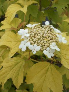 Viorne obier, Boule de neige 'Park Harvest'