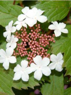 Viorne, Viburnum sargentii Onondaga en pot de 3,5L