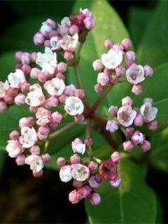 Viorne, Laurier Tin - Viburnum tinus Eve Price