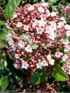Viburnum tinus Lisarose - Laurier-tin rose