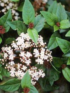 Viorne, Laurier Tin - Viburnum tinus Spirit