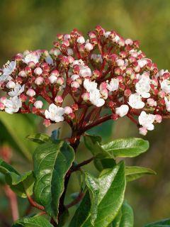 Viorne, Laurier Tin - Viburnum tinus