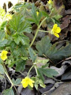 Waldsteinia geoides - Waldstenie faux-fraisier