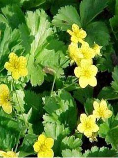 Waldsteinia ternata - Fraisier stérile jaune