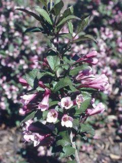 Weigela florida Foliis Purpureis - Weigela florida Purpurea - Weigelia pourpre