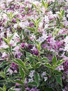 Weigelia florida Nana Variegata - Weigela panaché