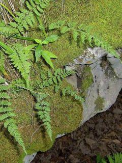 Woodsia obtusa - Fougère - Woodsie à lobes arrondis