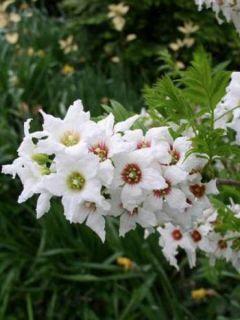 Xanthoceras sorbifolium - Xanthocère à feuilles de sorbier