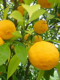 Yuzu - Citrus junos