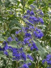 Barbe-bleue, Spirée bleue 'Thetis'