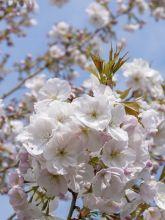Cerisier à grappes 'Sunset Boulevard'