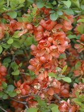 Cognassier du Japon - Chaenomeles japonica Orange Beauty