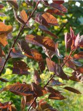 Cotinus coggygria 'Flame'