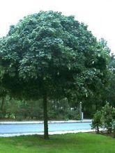 Erable boule - Acer platanoides Globosum