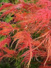 Érable du Japon - Acer palmatum Dissectum Viridis