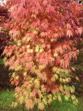 Érable du Japon 'Orange Flame'