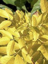Frêne de Chine - Fraxinus chinensis Emma's Gold