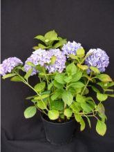 Hortensia Mathilde Gutges - Hydrangea macrophylla