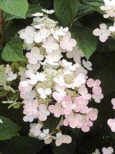 Hortensia - Hydrangea paniculata Early Sensation