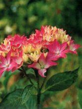 Hortensia - Hydrangea macrophylla Pia