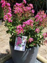 Lagerstroemia indica Terrasse Rose - Lilas des Indes